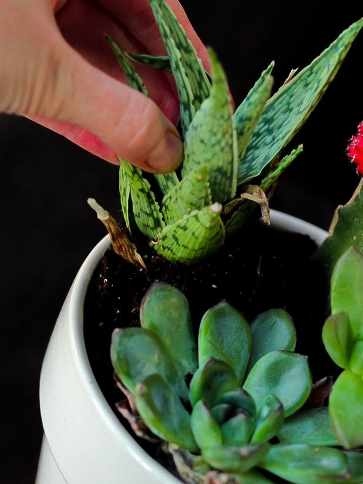hand planting green succulent plant in pot with other succulent plants