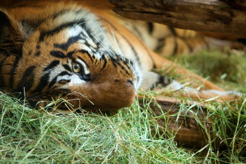 tiger laying on it's side in a pile of hay